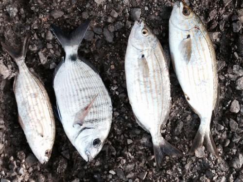 El que pesca salpas: Salpero..es
